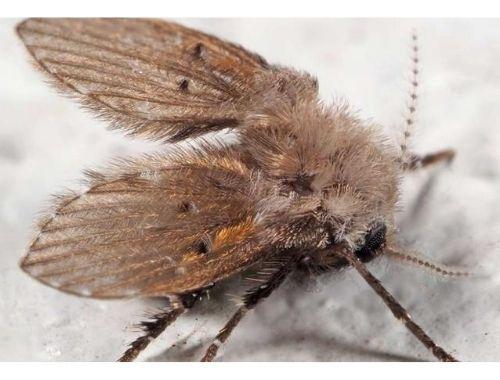 mosca del vinagre eliminar