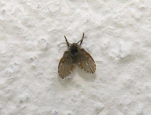 plaga de moscas en casa